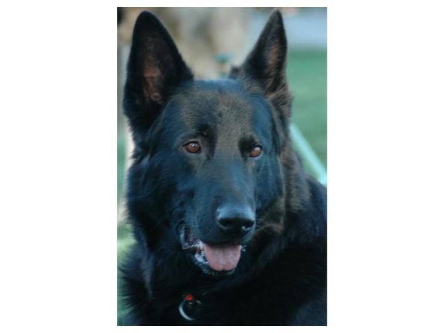 San Diego Diensthund Club-December 13, 2003-CA